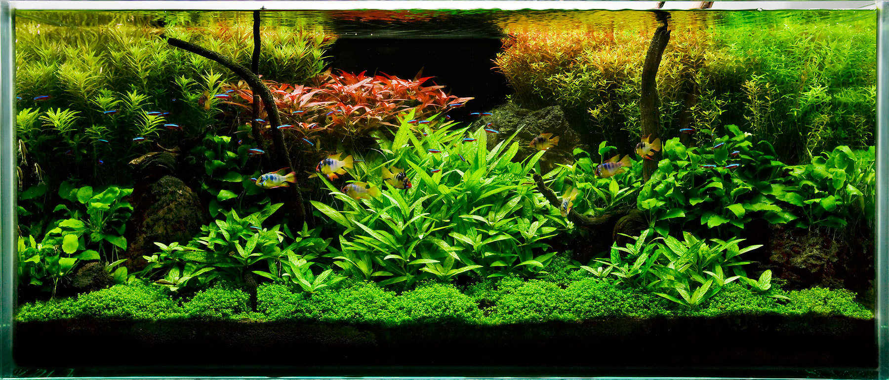 My planted aquarium imod for Planted tank fish